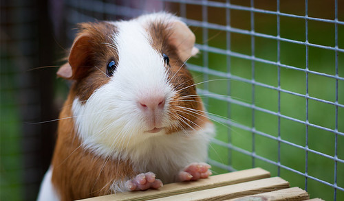 Bubbles - Guinea Pig by Dale Hayter
