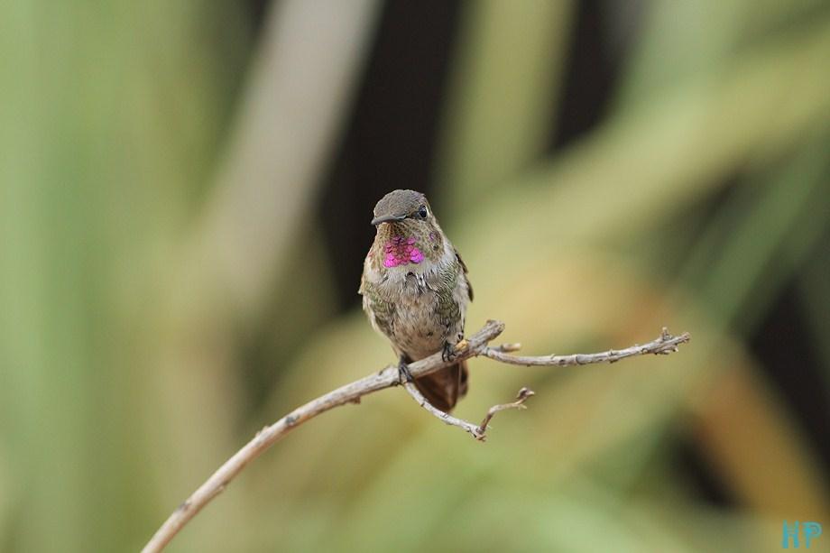 Costa's X Anna's Hummingbird 090312-4
