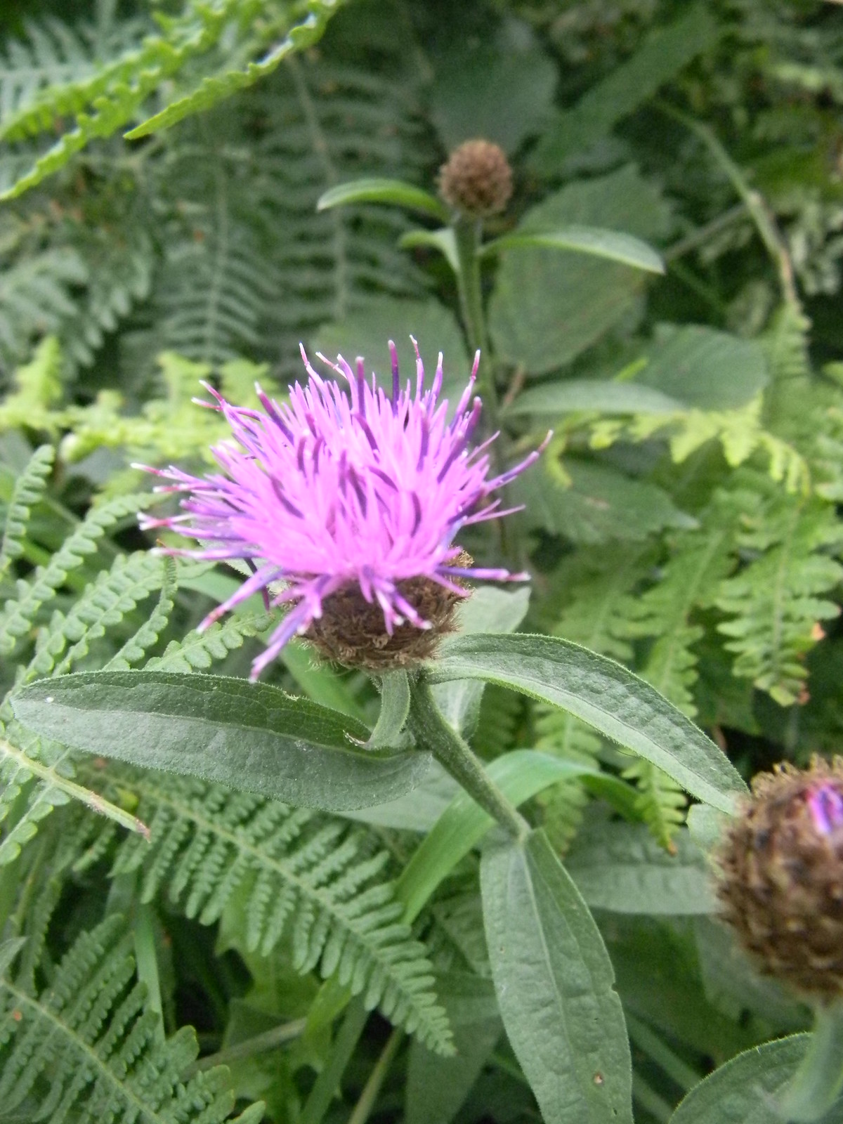 Knapweed Hastings to Rye