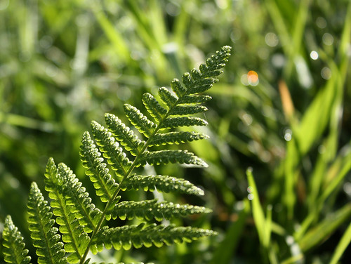 Fern with dewy bokeh