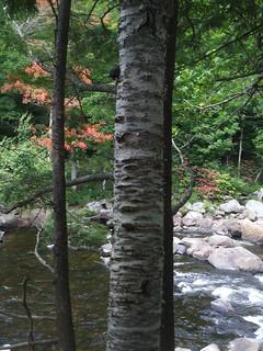 Adirondacks birch
