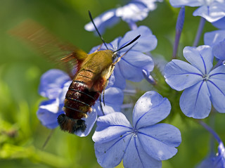 Clearwing Hummingbird Moth #3