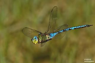 blue dragonfly in flight  !