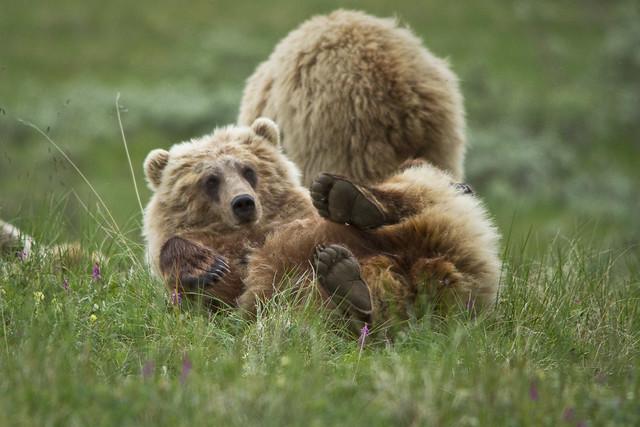 Oso grizzly en Alaska