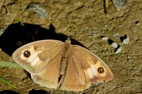 ar :  Meadow Brown