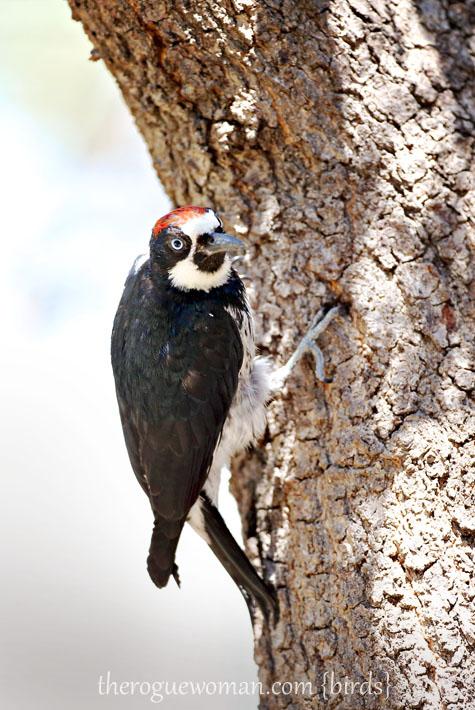 090112_05_bird_wood_acornWoodpecker