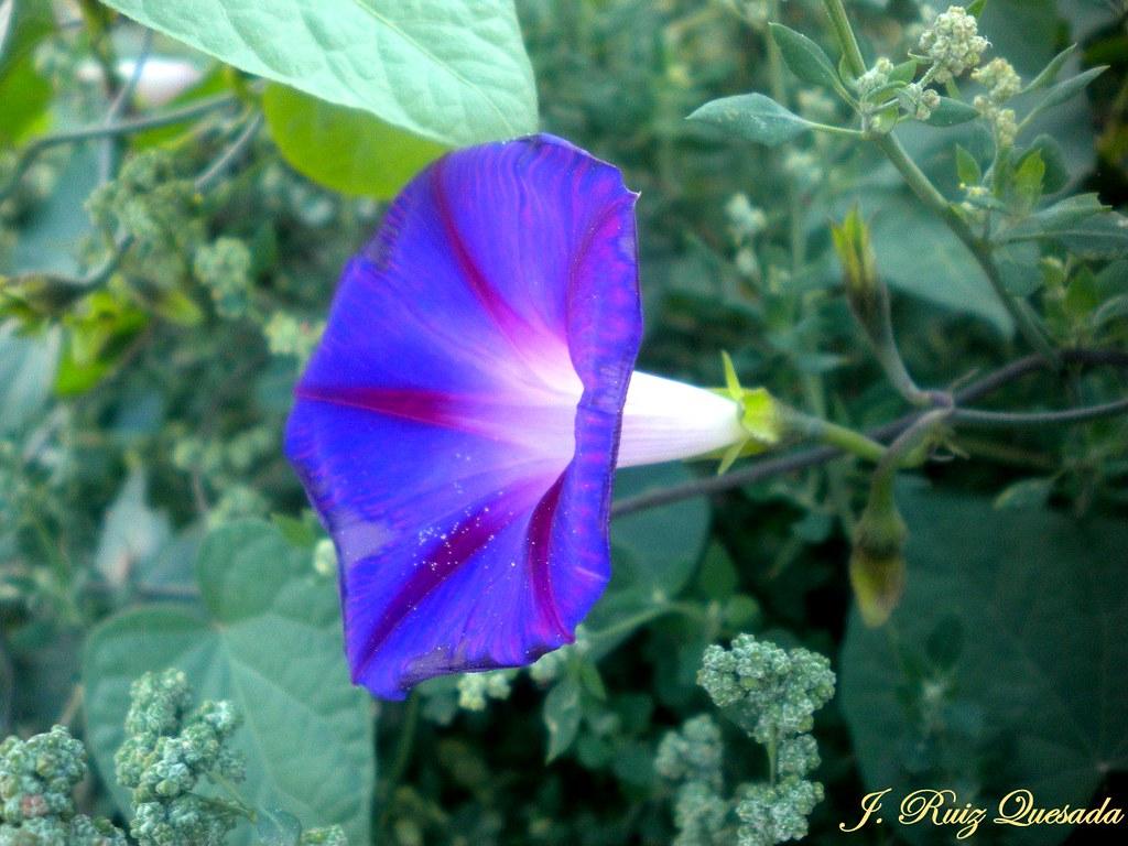 Campanilla violeta o Ipomoea