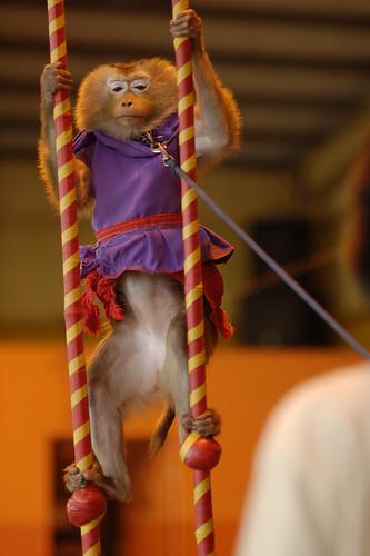猴子被打扮得像個人,還必須表演。(圖片來源:關懷生命協會)