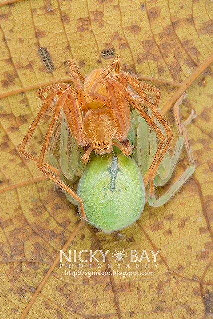 Huntsman Spiders (Sparassidae) - DSC_3692