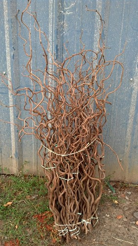 walking stick curly chestnut