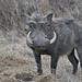 Warthog, Gaysay Grasslands (Tim Melling)