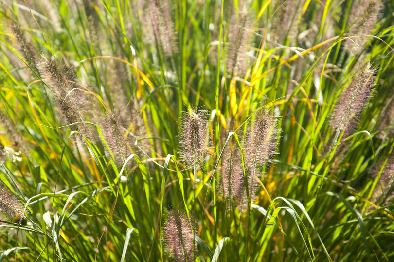 Pennisetum Red Head Backlit 2