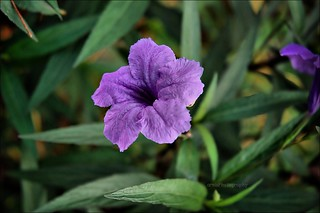 The beauty of Ruellia brittoniana