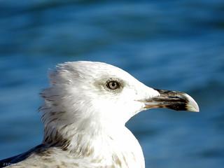 Okeanida (Ωκεανίδα) 海滩与 809 米的长度 的形象. seagull beak seabird birdhead birdeye γλάροσ ράμφοσ