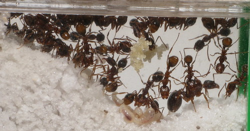 how to make an ant farm with a queen