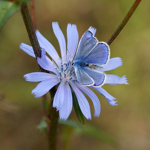 Hauhechel-Bläuling (Polyommatus icarus) auf einer Gemeinen Wegwarte (Cichorium intybus) by olga_rashida