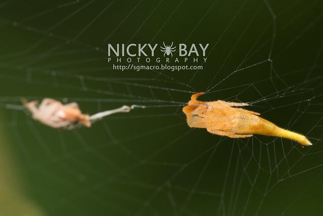 Scorpion-Tailed Spider (Arachnura sp.) - DSC_5709