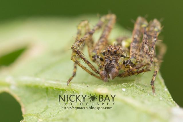 Orb Weaver Spider (Araneidae) - DSC_5668