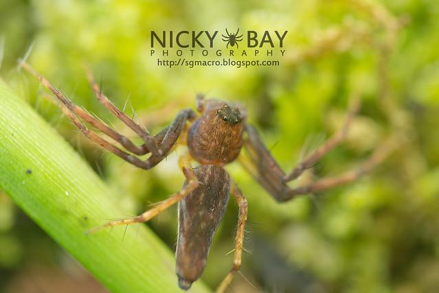 Lynx Spider (Oxyopidae) - DSC_5662