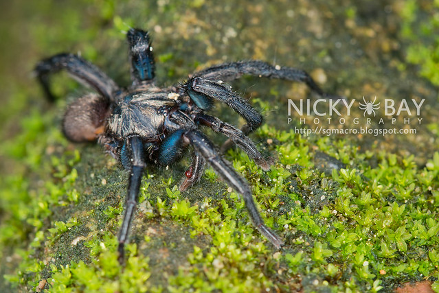 Brush-Footed Trapdoor Spider (Barychelidae) - ESC_0044