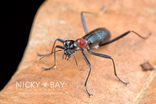 Tiger Beetle (Cicindelinae) - DSC_8880