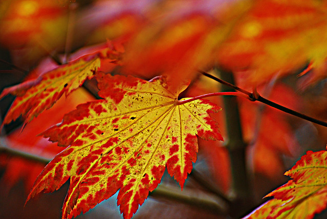 British Fall (Acer palmatum leaves) called Japanese Maple at Pontardawe hills. Wales.