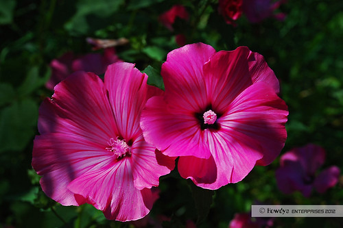Malvenblüten / mallow blossoms by Howdys