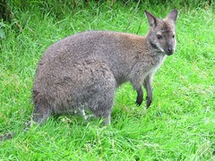 rabbit(0.0), domestic rabbit(0.0), musk deer(0.0), rabits and hares(0.0), wallaby(1.0), animal(1.0), grass(1.0), marsupial(1.0), mammal(1.0), kangaroo(1.0), fauna(1.0), wildlife(1.0),