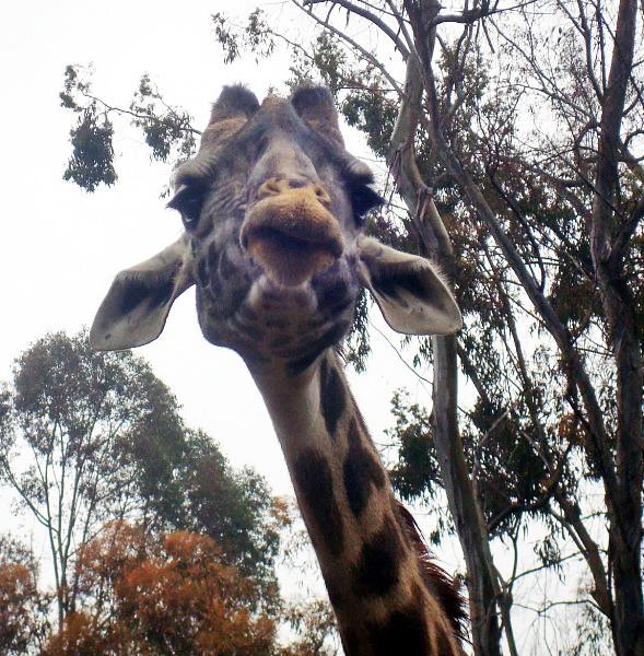 giraffe-lips