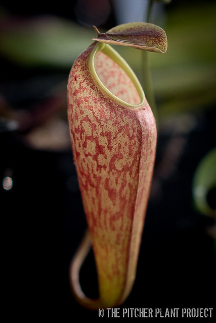 Nepenthes thorelii x aristocholoides