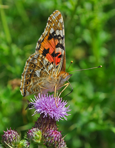 Painted Lady Ham Fen by Kinzler Pegwell