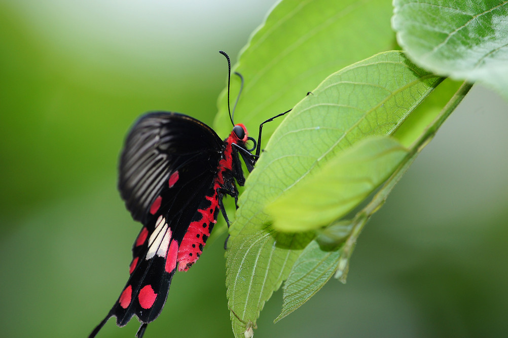 紅紋鳳蝶-2