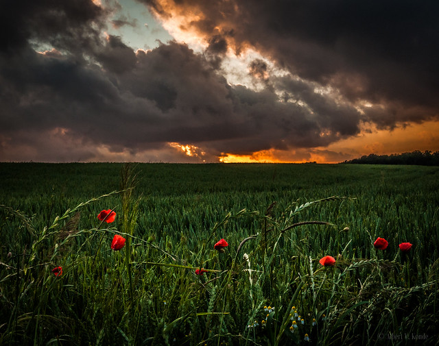 Sunset poppies, Beersel - Belgium
