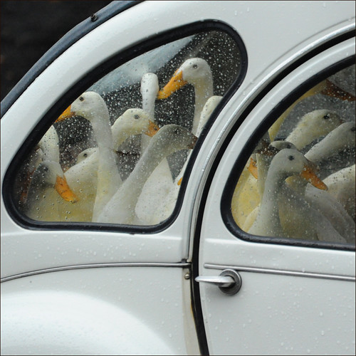 Gänse in der Ente
