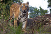 A stunning tiger in Bandhavgarh National Park, India, taken by Panthera's Media Director, Steve Winter. Did you know that tigers vary widely in size? Sumatran tigers are the smallest while individuals from India & Russia are the largest. The largest wild male on record weighed 261kg! Learn more facts about these beautiful big cats @ bit.ly/fw2xbQ & their threats @ bit.ly/PO3odX