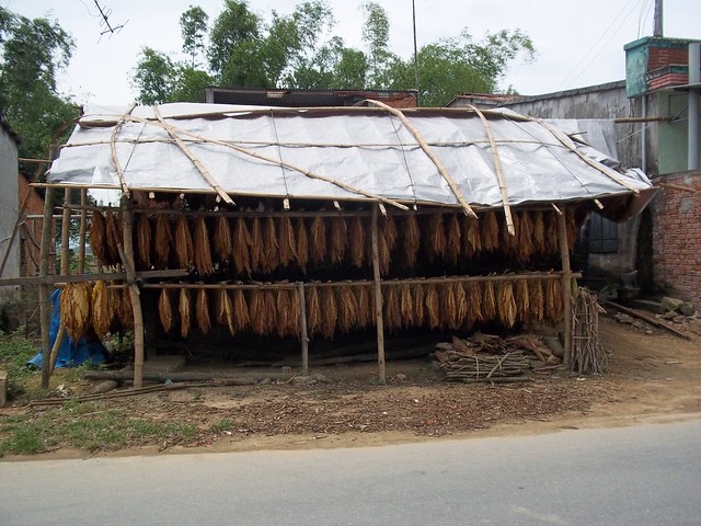 Drying Tobacco, Vietnam