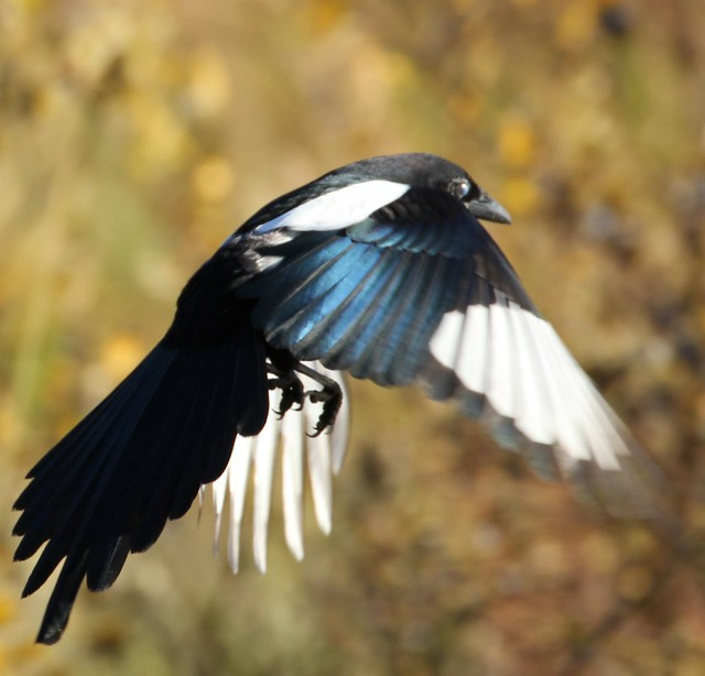 Black-billed Magpie (Pica Hudsonia) iridescent dark blue-green wings - Alaska Wildlife Conservation Center near Anchorage