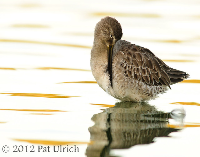 Tranquility at sunset, Dowitcher at Radio Road Ponds