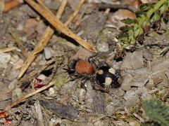 Dasylabris maura - südliche Spinnenameise