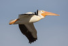 Flying American white pelican (Pelecanus erythrorhynchos) by Ron Winkler nature