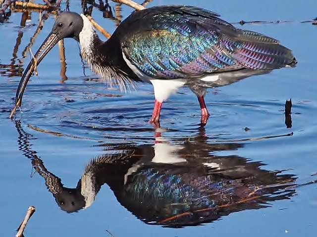 Straw-Necked Ibis in reflection