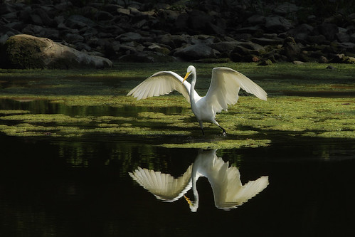 Egret with Intent to Eat