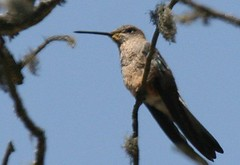 Giant Hummingbird - Birding with Nature Expeditions in Peru