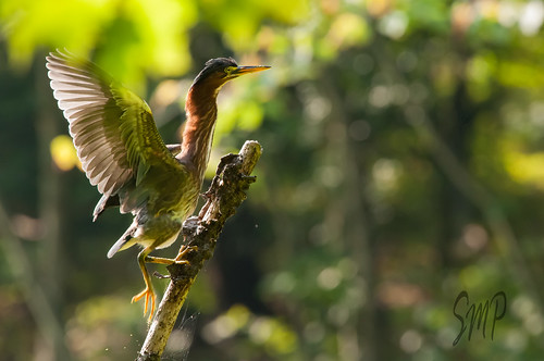 Green Heron by UpstateNYPhototaker