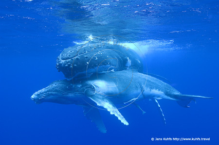 humpback whale with calf, I love you so ... , Tonga 2012 - Vava'u