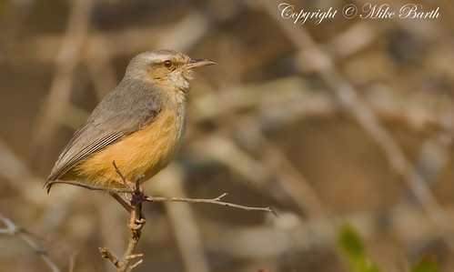 Long-billed Crombec (Sylvietta rufescens)