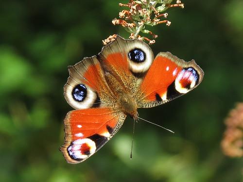 Peacock - Inachis io