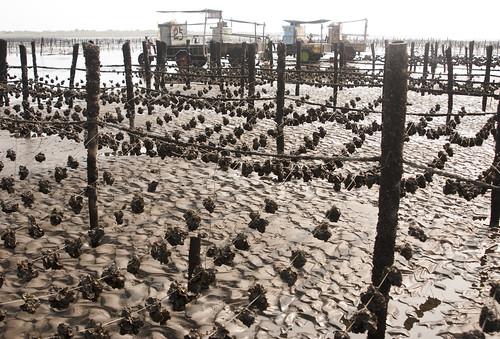 彰化濕地孕育了富饒的養殖業,串串相連的蚵棚,也是別具特色的景致。