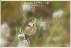 DSC_7950  checkered white Butterfly photography by Ron Birrell;
