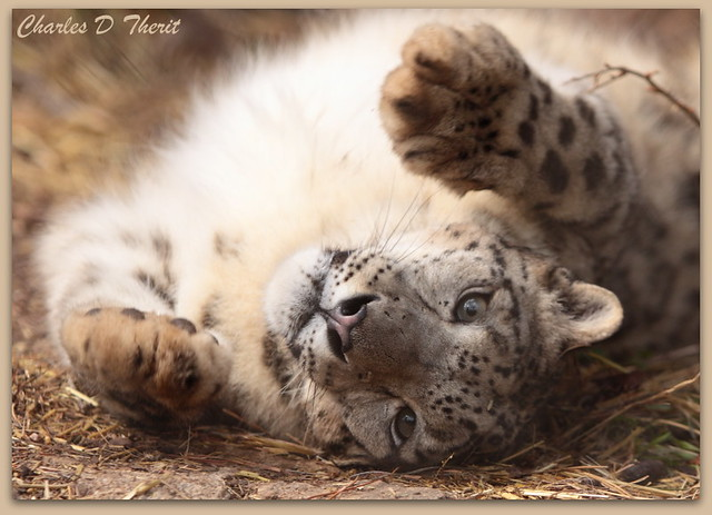 Snow Leopard Playtime